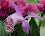 Other Passions 1: Pleione limprichtii