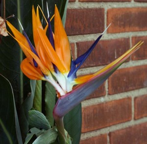 Other Passions 1: Strelitzia reginae (Bird of paradise)