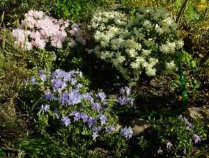 """Rhododendron """"Ginny Gee"""", Geiskii, """"Blue Tit"""", Pemakoense"""