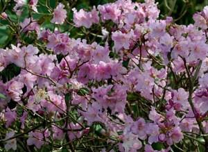 "Rhododendron ""Praecox"""
